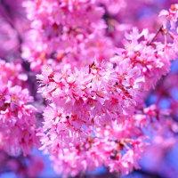 富士桜 (花 4300)