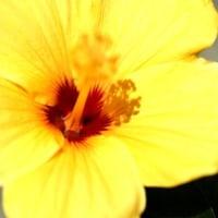 庭の花 ハイビスカス (伊勢志摩)