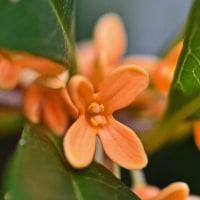 金木犀、山茶花、開花