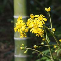 竹林のツワブキ