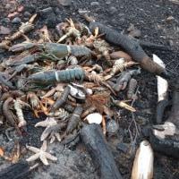 懸念されるような多いな問題は見当たらない  ノバスコシアの魚大量死