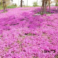 三ツ又池公園の芝桜。2017