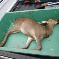 10月18日有害鳥獣捕獲「鹿」