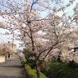 「2014年の京都・松ヶ崎の桜シーズン終了しました」