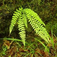 天照教付近の植物:フクロシダ