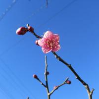 わが家の梅の開花宣言