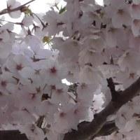 明石公園桜満開