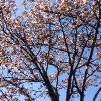 桜が咲いてるよ