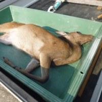 6月1日有害鳥獣捕獲「鹿」
