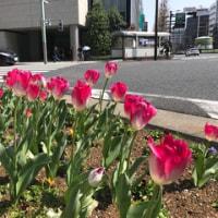 東京駅八重洲の交差点のチューリップ