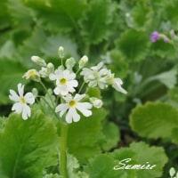 春の香りフキノトウ