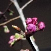陽光桜 未だ花芽のまま 3.25
