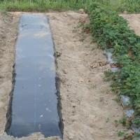 ニンジンとゴボウの床作り。