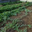 枝豆用大豆(小糸在来)の植え付けをしました
