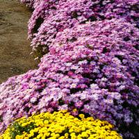 『秋景』 ざる菊
