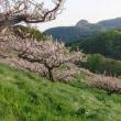 壮瞥公園の梅