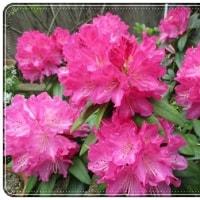 庭の石楠花が満開! ボリュームあるピンクの花です。