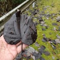 イイギリの落ち葉は真っ黒になります。