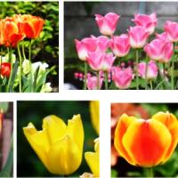 チューリップ 花盛り