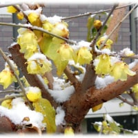 厳冬の花(^^♪可憐な黄色い花、人を幸福にしてくれる甘い良い香りの「ロウバイ(蝋梅)」
