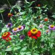 暑さに強い 百日草の花