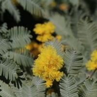 ミモザの花。
