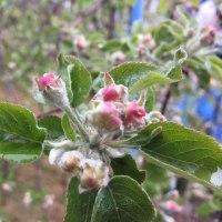 小雨の中、ヤマブキが咲いています、りんごも咲き始めました