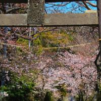 『大磯の桜』 白岩神社