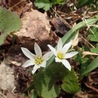 佐渡の花:石花登山口から平城畑:道沿いに続くアマナの花