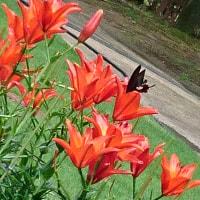 赤いユリに黒のアゲハ蝶