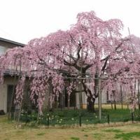 三春の滝桜の子ども