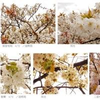 様々な桜   -名古屋・桜名所 & 大阪造幣局-
