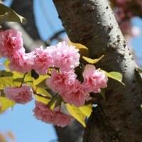 八重桜はやっぱりきれいです♪
