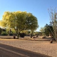 5/21  2017 今年の アリゾナ州の木。パロ ヴェルデ ツリー, Palo Verde Tree