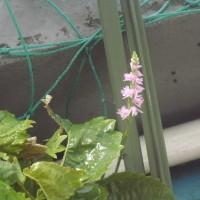 ベランダの溝でも開花
