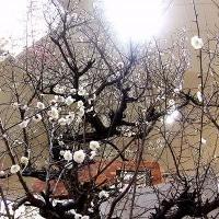 名城公園・梅まつり