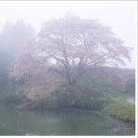 川内ジラカンス桜