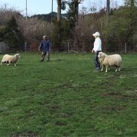 @ 'ェ' @ さーん!  牧羊犬めざしてみました