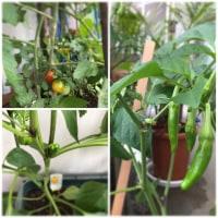 家庭菜園2017