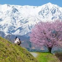 五月の白馬山麓・・・安曇野・・・白馬村北城・・・野平(のだいら)の一本桜