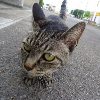 今日の猫/久しぶりにキジ猫さんに出会う。