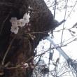 [春]お花見もうすぐ!