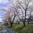 八重桜がきれい