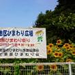 座間市栗原のひまわり開花情報2017/7/19現在