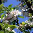 リンゴの花、いっぱい咲い~た・畑えもん通信