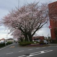 さくら・サクラ・桜・・・・。