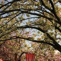 2017大阪造幣局の<桜の通り抜け>