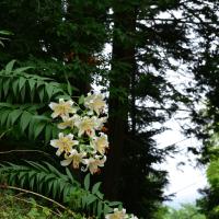 土手に咲く山百合