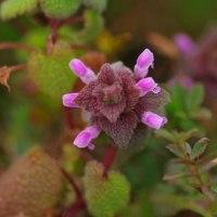 [#3525] 2月,3月に撮った花の写真(8)ヒメオドリコソウ