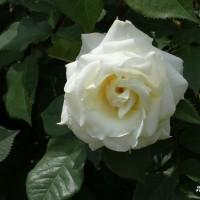 春バラ その12